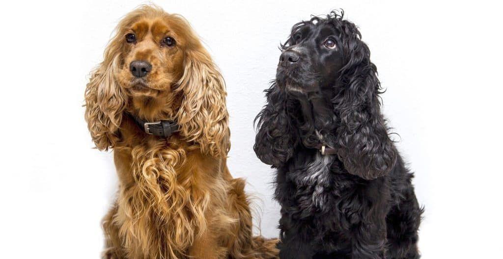 Cocker-Spaniel-black-and-brown