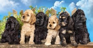 Cocker-Spaniel-puppies