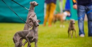 ITALIAN-GREYHOUND-IN-A-DOG-SHOW