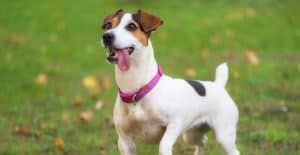 JACK-RUSSELL-FUNNY