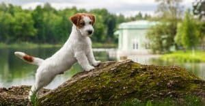 JACK-RUSSELL-STRETCHING