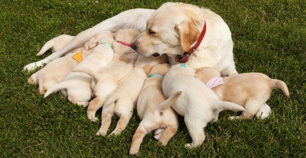 LABRADOR-RETRIEVER-FEEDING-PUPPIES