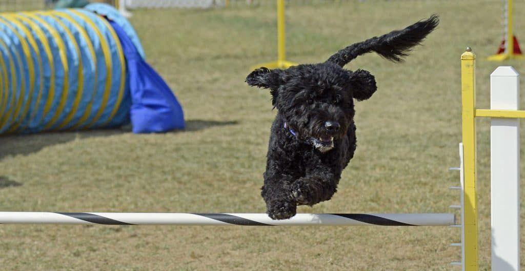 PORTUGUESE-WATER-DOG-AGILITY-TRAINING