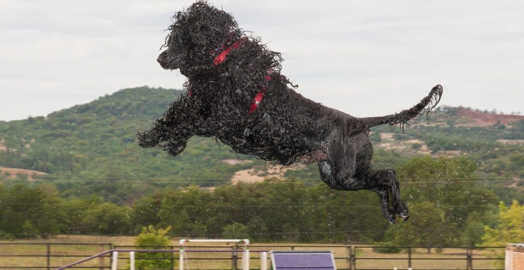 PORTUGUESE-WATER-DOG-JUMPING-INTO-THE-POOL