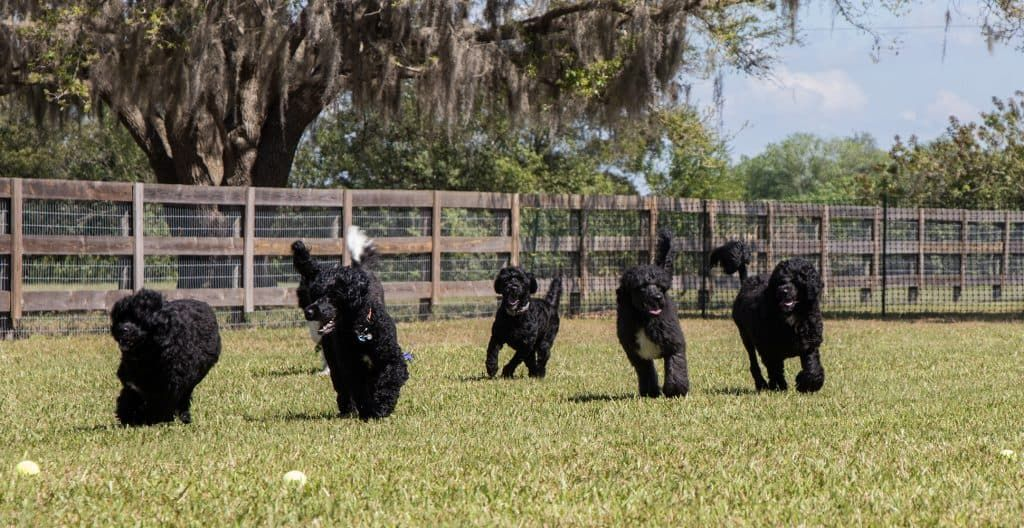 PORTUGUESE-WATER-DOGS-IN-THE-FIELD