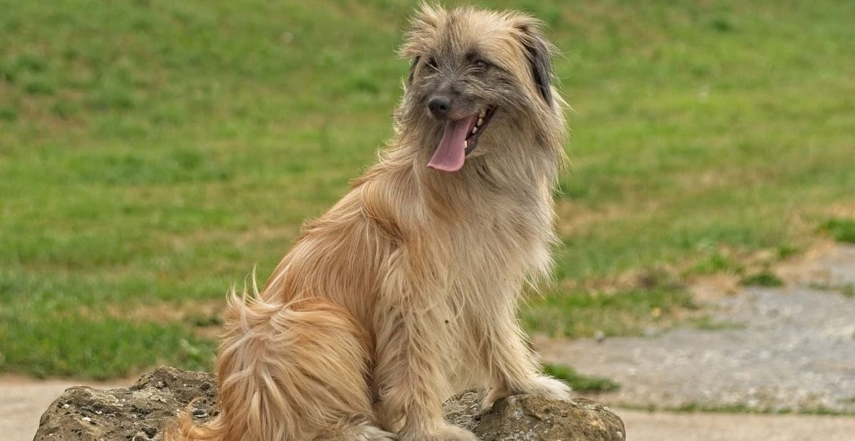 PYRENEAN-SHEPHERED-LONG-HAIRED