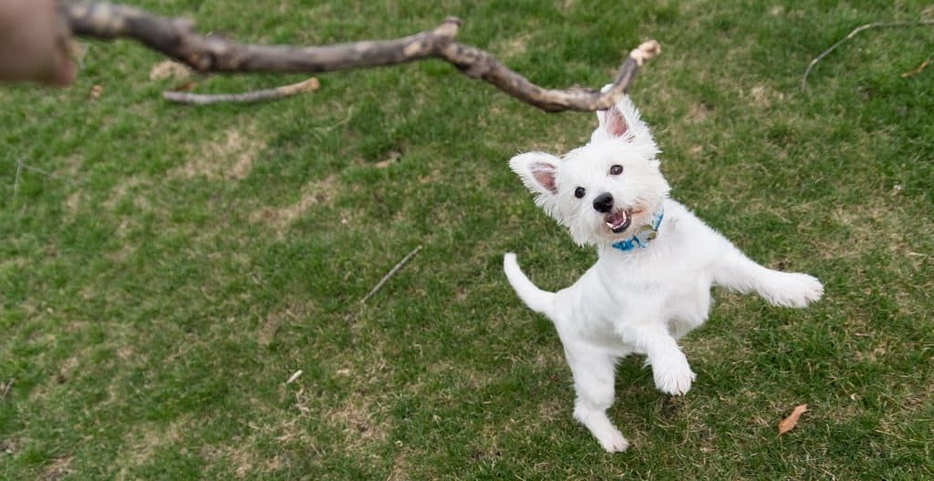 WEST-HIGHLAND-TERRIER-PLAYING-OUTSIDE