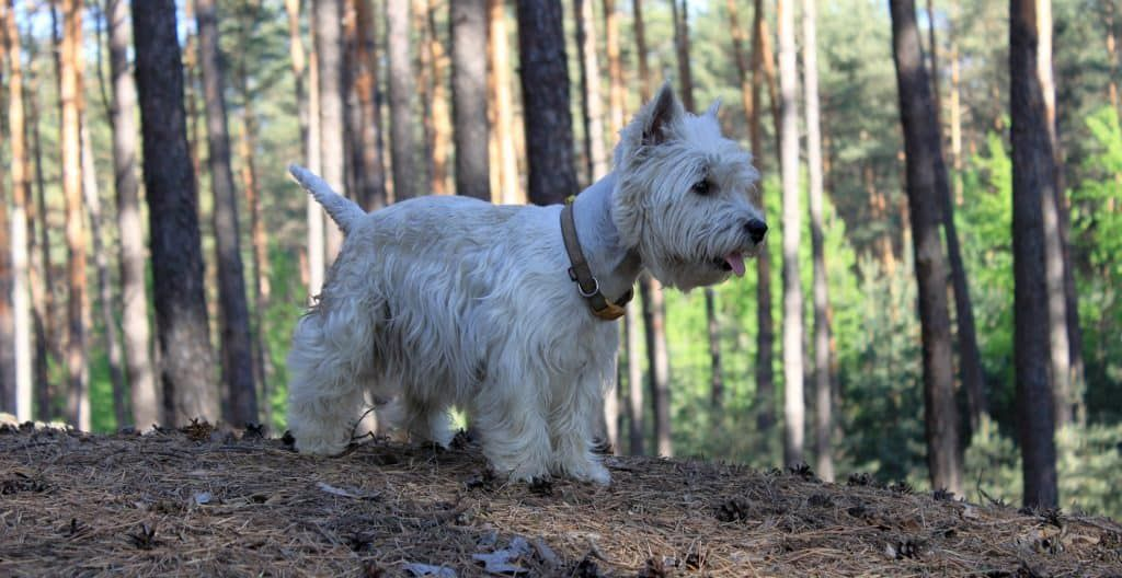 WEST-HIGHLAND-TERRIERS-IN-THE-FOREST