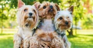YORKSHIRE-TERRIER-IN-A-BASKET