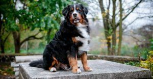 bernese-mountain-breed-guide
