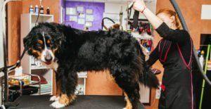 bernese-mountain-dog-grooming