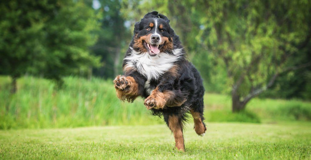 bernese-mountain-dog-happily-jumping