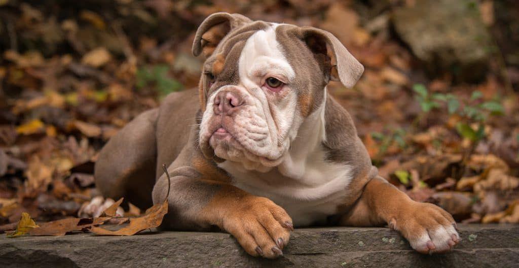 bulldog-american