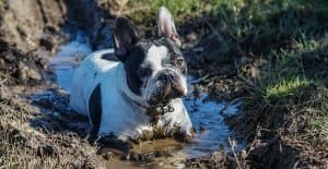 bulldog-french-playing-in-the-mud