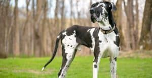 great-dane-black-and-white