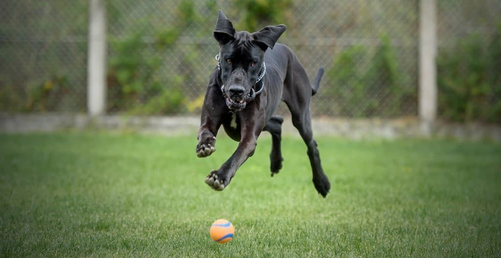 great-dane-exercise