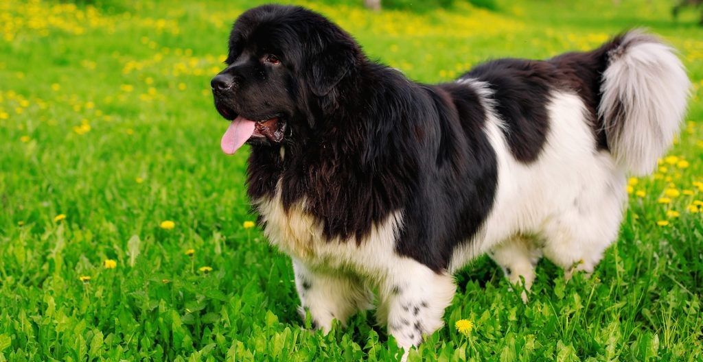 newfoundland-breed-guide