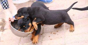 rottweiler-feeding