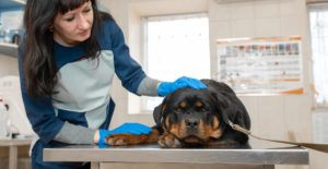 rottweiler-health-and-grooming