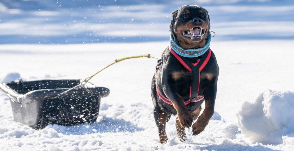 rottweiler-running-on-snow