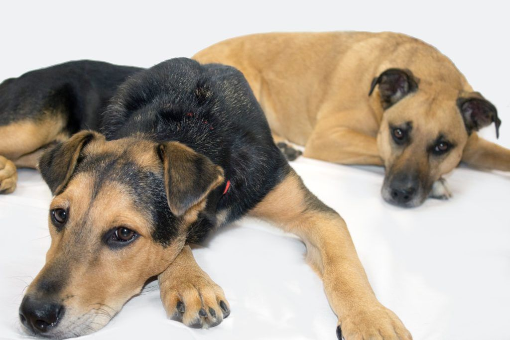 black-mouth-cur-history