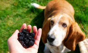 can-dogs-eat-blackberries