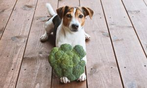 can-dogs-eat-broccoli