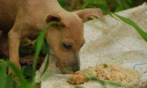 can-dogs-eat-brown-rice