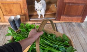 can-dogs-eat-celery