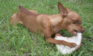 can-dogs-eat-coconut