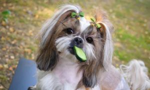can-dogs-eat-cucumbers
