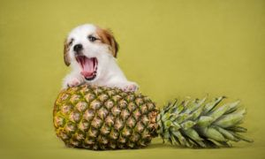 can-dogs-eat-pineapple