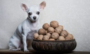 can-dogs-eat-walnuts