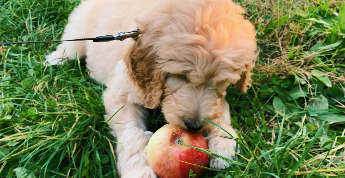 goldendoodle-breed-guide-feeding