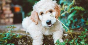 goldendoodle-breed-guide-gallery
