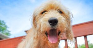 goldendoodle-breed-guide-health