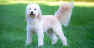 goldendoodle-breed-guide-size