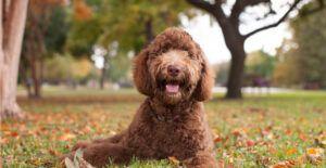 labradoodle-breed-guide-header