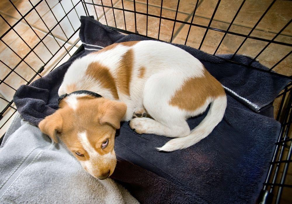 heeler-puppy-inside-crate