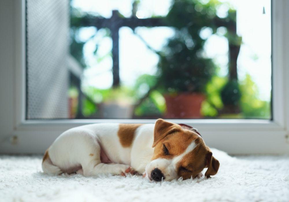 jack-russel-puppy-sleeping