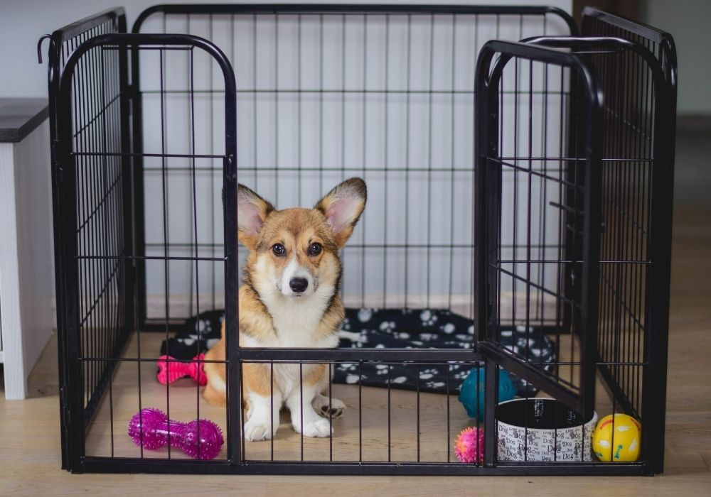 pembroke-welsh-corgi-puppy-inside-crate