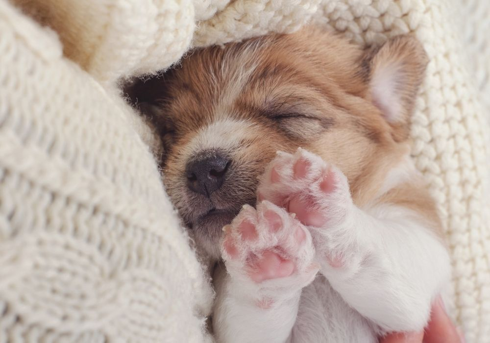 puppy-sleeping-on-knitted-sweater