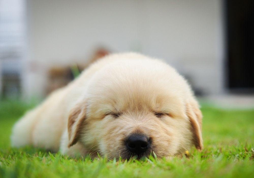 puppy-sleeping-on-the-grass