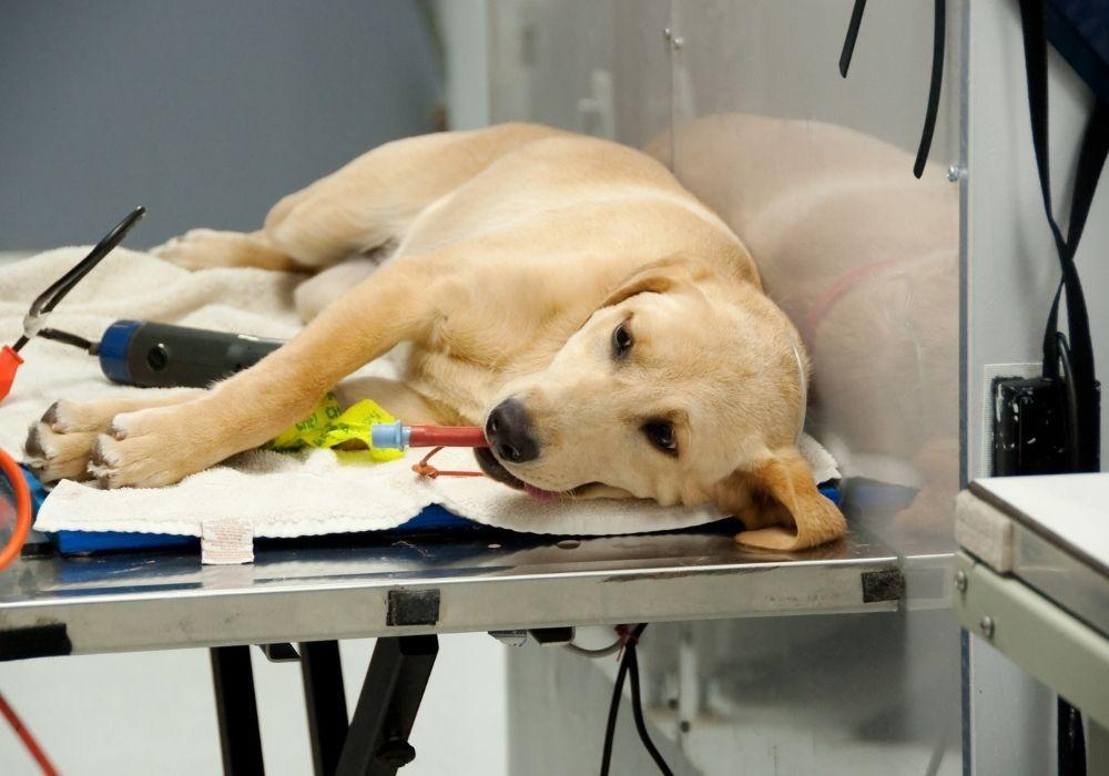 spaying-dog-vet-clinic