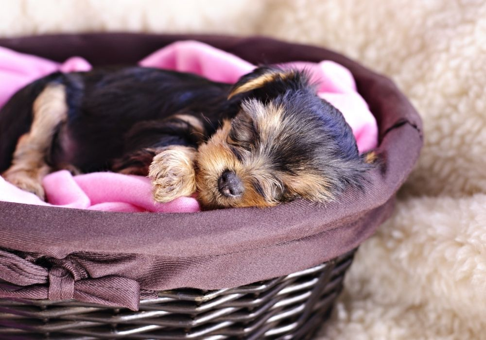 yorkshire-terrier-puppy-sleeping