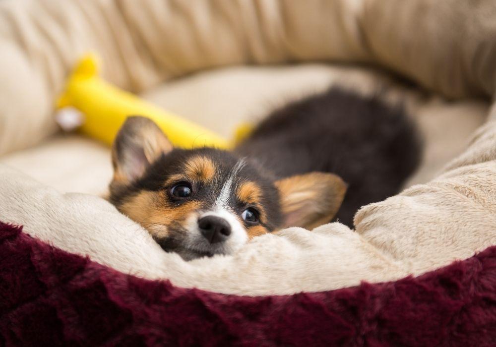 corgi-puppy-in-bed