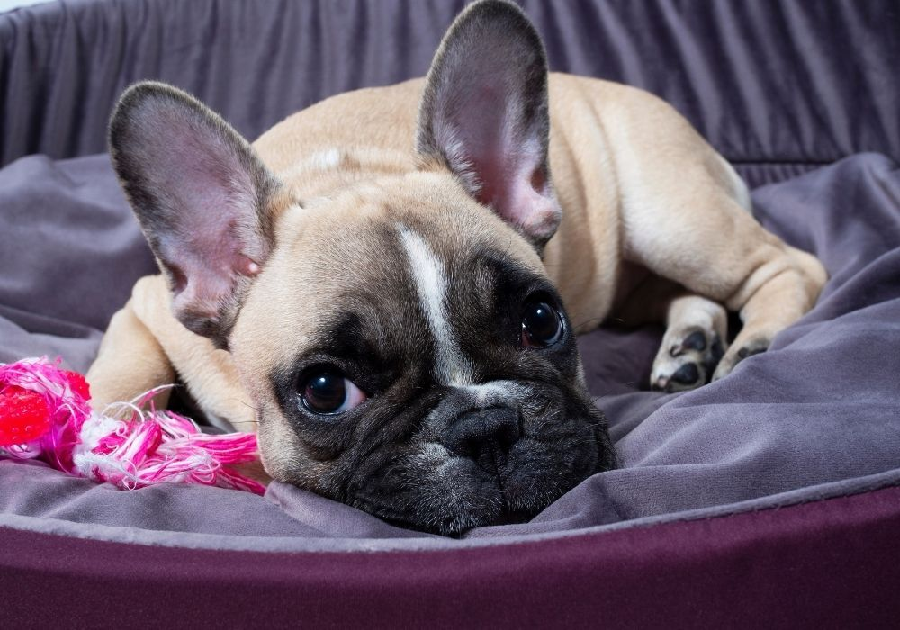french-bulldog-puppy-in-bed