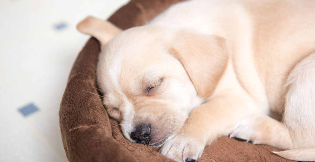 how-to-get-your-puppy-to-sleep-through-the-night