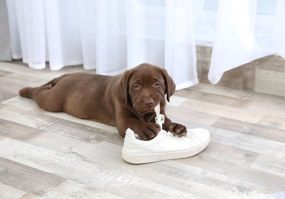 labrador-retriever-puppy-playing-with-sneaker