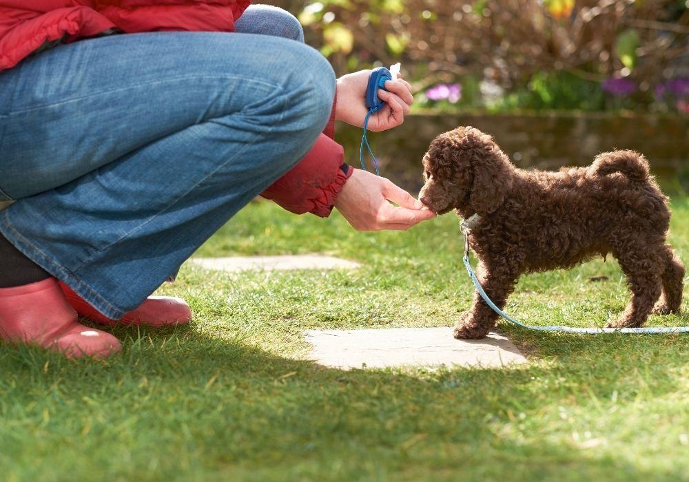 training-a-miniature-poodle-puppy